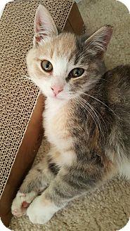 Domestic Shorthair Kitten for adoption in Baltimore, Maryland - .Hazel