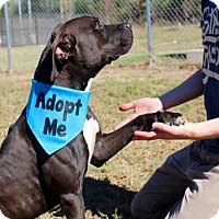 Pit Bull Terrier/Labrador Retriever Mix Dog for adoption in Norman, Oklahoma - A025973
