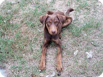 Doberman Pinscher/Labrador Retriever Mix Dog for adoption in San Antonio, Texas - Cleo