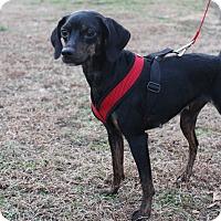 Adopt A Pet :: Moo - Waldorf, MD