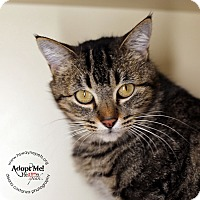 Domestic Shorthair Cat for adoption in Lyons, New York - Peaches