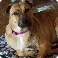 Plott Hound/Labrador Retriever Mix Dog for adoption in Von Ormy, Texas - Abbey AKA Zena