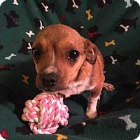 Adopt A Pet :: Felicia - Foristell, MO