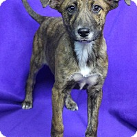 Adopt A Pet :: TARA - Westminster, CO