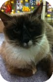 Siamese Cat for adoption in Modesto, California - Penny