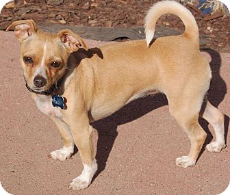 Chihuahua/Fox Terrier (Toy) Mix Dog for adoption in San Francisco, California - Lainey
