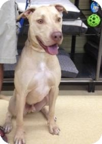 Labrador Retriever Mix Dog for adoption in Ringwood, Illinois - Capone