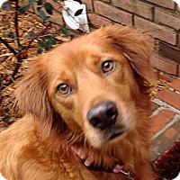 Adopt A Pet :: Eliza - Cheshire, CT