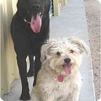 Adopt A Pet :: Maddie - Golden Valley, AZ