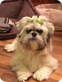 shih tzu rescue ohio shih tzu mix dog for adoption in urbana ohio sassy 838