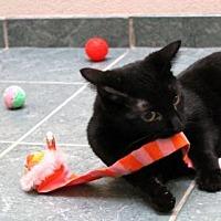Domestic Shorthair Cat for adoption in Lima, Ohio - Goldilocks