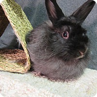 Lionhead Mix for adoption in Newport, Delaware - Talena