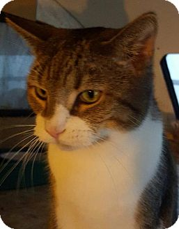 Domestic Shorthair Cat for adoption in New Bedford, Massachusetts - Timber
