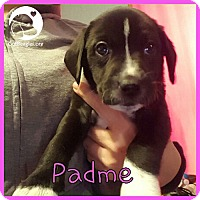 Adopt A Pet :: Padme - Novi, MI