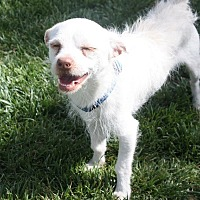 Terrier (Unknown Type, Small) Mix Dog for adoption in Henderson, Nevada - Captain