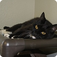 Domestic Mediumhair Cat for adoption in Libby, Montana - Cleo