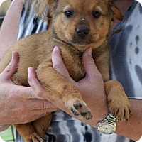 Adopt A Pet :: Joey $250 - Seneca, SC