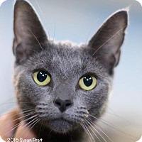 Domestic Shorthair Cat for adoption in Bedford, Virginia - Nessa