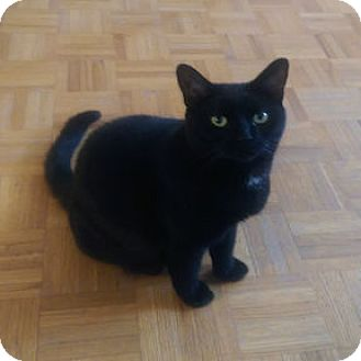 Domestic Shorthair Cat for adoption in Verdun, Quebec - Valentine