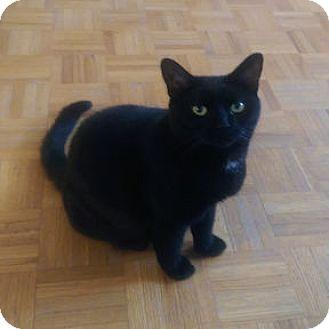 Domestic Shorthair Cat for adoption in Verdun, Quebec - Valentine