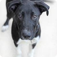 Adopt A Pet :: Ammo - Yukon, OK