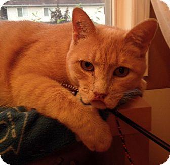 Domestic Shorthair Cat for adoption in Toronto, Ontario - Meisha