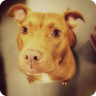American Staffordshire Terrier Mix Dog for adoption in Thorp, Wisconsin - Amber