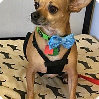 Chihuahua Dog for adoption in North Richland Hills, Texas - Bryce