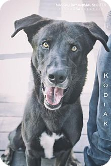 German Shepherd Dog/Shepherd (Unknown Type) Mix Dog for adoption in Nassau Bay, Texas - Kodiak