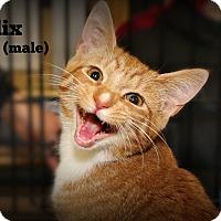 Adopt A Pet :: Felix - Springfield, PA