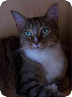 Domestic Shorthair Cat for adoption in Elkton, Maryland - Jasmine