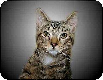Domestic Shorthair Cat for adoption in Montgomery, Illinois - Carlisle