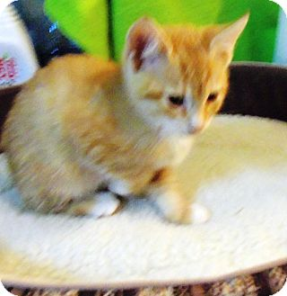 Domestic Shorthair Kitten for adoption in Catasauqua, Pennsylvania - Gizmo