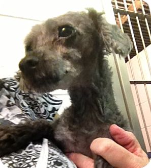 Poodle (Miniature) Mix Dog for adoption in Richmond, Virginia - Locke