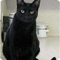 Bombay Cat for adoption in Alvin, Texas - Robbie