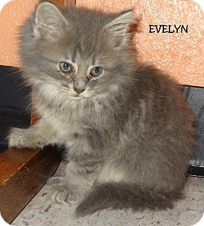 Evelyn Fluffy Grey Kitty Adopted Kitten 29797 Lapeer Mi Domestic Mediumhair