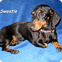 Adopt A Pet :: Sweetie - Chandler, AZ