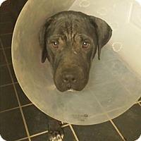 Adopt A Pet :: Seal - Mira Loma, CA