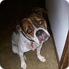 Adopt A Pet :: Bitzi Boxer