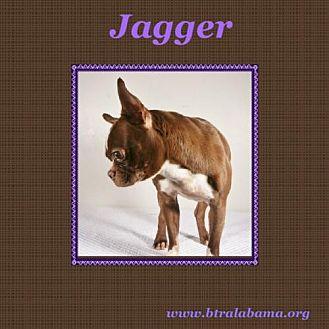 Boston Terrier Dog for adoption in Alabaster, Alabama - Jagger