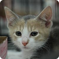 Adopt A Pet :: Stumpy Cat - Richmond, VA