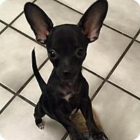 Adopt A Pet :: Tulip *ADOPTION PENDING* - Las Vegas, NV