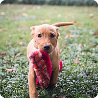 Adopt A Pet :: Reese (Candy Pup) - Cumming, GA