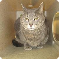 Adopt A Pet :: MUNCHKIN - Reno, NV