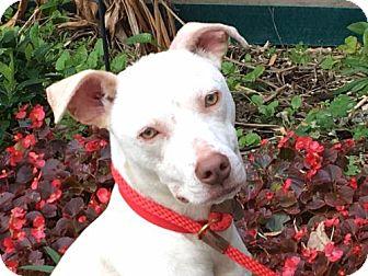 Labrador Retriever Mix Dog for adoption in Portland, Oregon - Cane