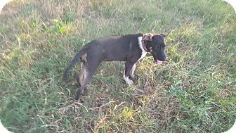 Border Collie/Labrador Retriever Mix Puppy for adoption in Eustace, Texas - Heart