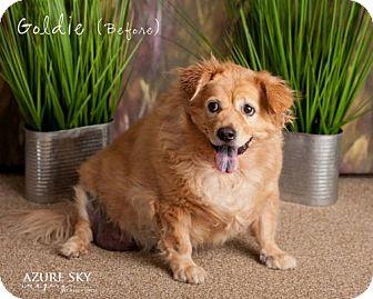Golden Retriever/Corgi Mix Dog for adoption in Glendale, Arizona - Goldie