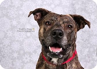 American Pit Bull Terrier Mix Dog for adoption in Arlington, Virginia - Maybelle