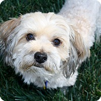 Adopt A Pet :: Pico - Low to no shedding! - Los Angeles, CA