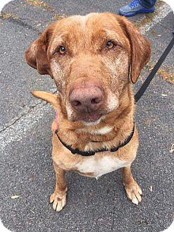 Labrador Retriever Dog for adoption in Buckeystown, Maryland - Molly #2